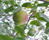 registro fotográfico da fruta Ambu