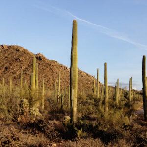 Registro fotográfico dos cactos Saguaros em risco de vida.