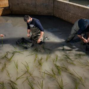 Registro fotográfico de trabalhadores trabalhando com o arroz com sabor de mar