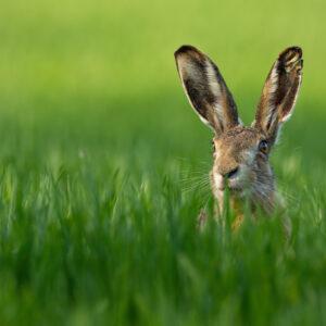 Registro fotográfico de uma lebre em um campo verde.