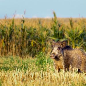 Registro fotográfico de um Javali perto de um campo de milho.
