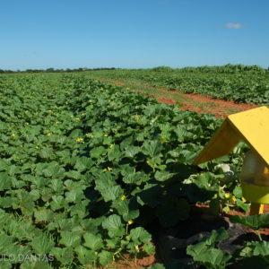 Cultivo de melões na Agrícola Famosa (RN): menos água para mais produtividade